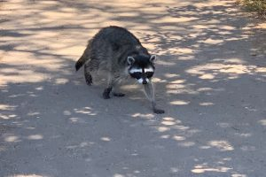 Outside Lands, Golden Gate Park, raccoon, Outside Lands 2019, Outside Lands Music Festival.